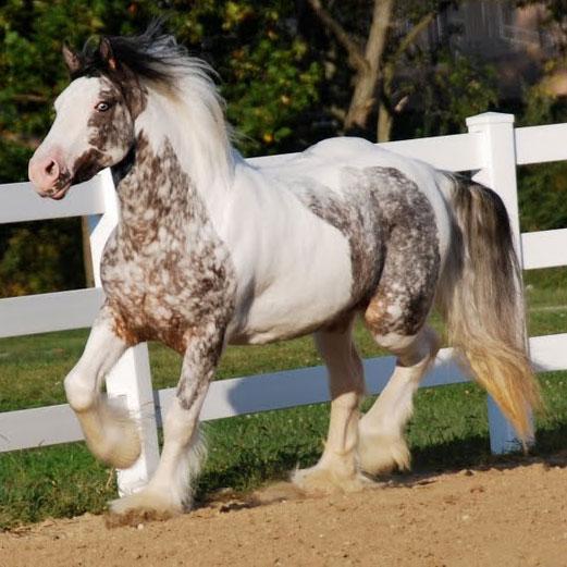 Pumpkin Westmoreland Gypsy Vanner Horses For Sale