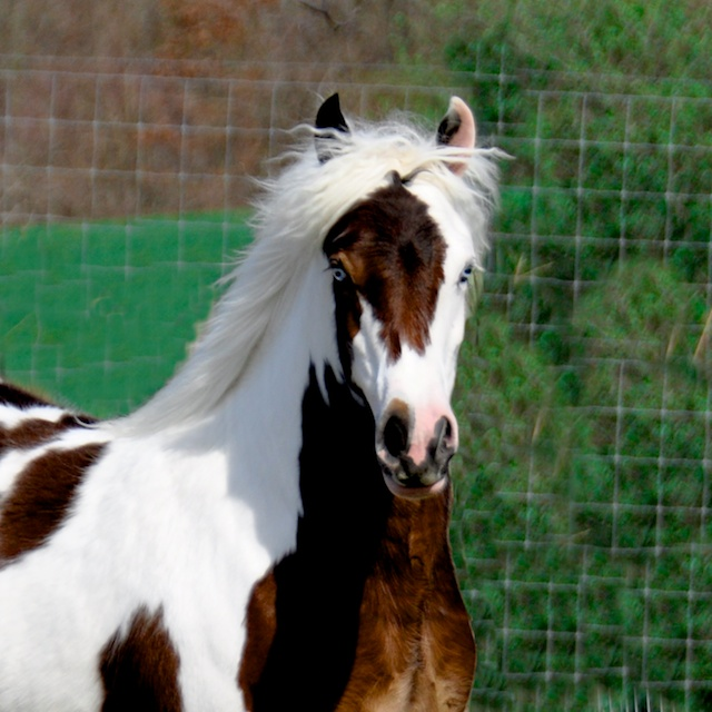 Sugar Baby Westmoreland Gypsy Vanner Horses For Sale